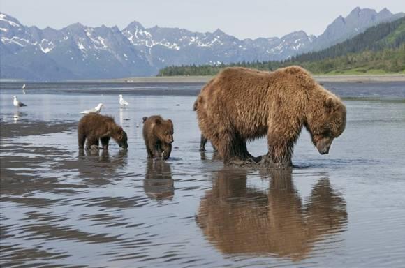 bears-disneynature2 image