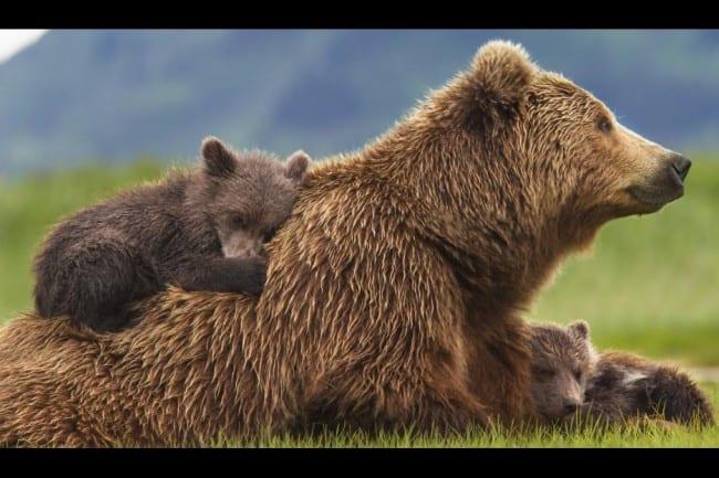 bears-family image